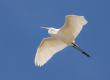 public domain egret